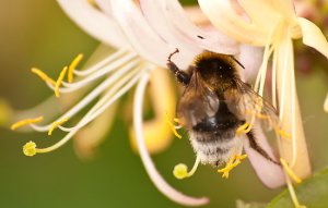 honeysuckle and bee