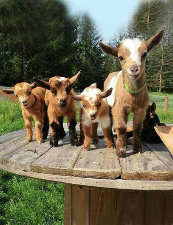 goats on picnic tables 2