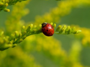 ladybug_picture_wallpaper
