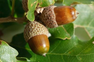 healing-of-oak-trees-and-acorns-400x266
